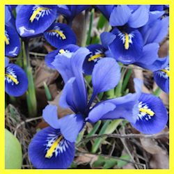 close-up of bright blue blooms