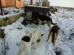 All doggies eating near their doghouse in a winter day