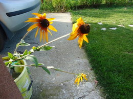 Rudbeckia plant I found on the field, recovering in the bucket