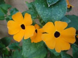 Three orange thunbergia flowers from my vine