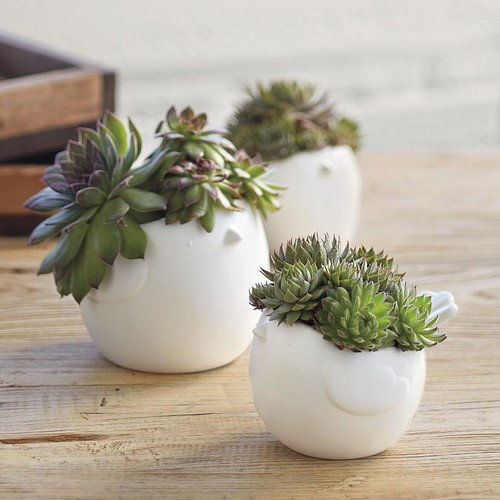 Hen and chick succulents