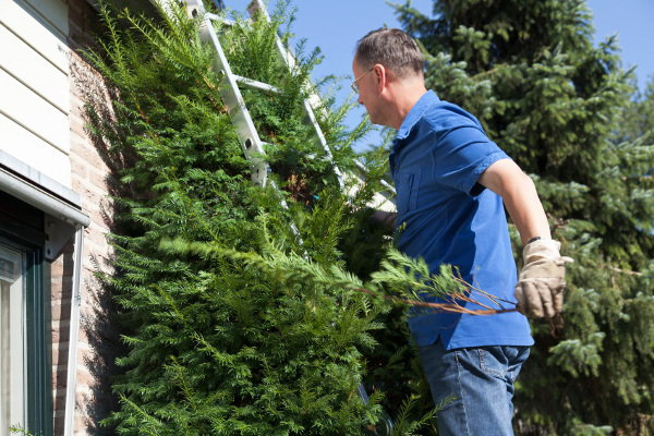 conifer pruning
