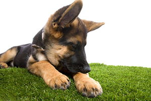 The Truth About Fleas and Your Pets