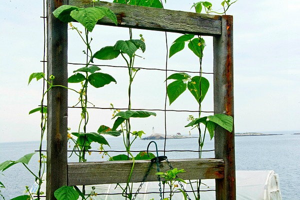 6 Reasons to Grow Vertical, beans