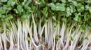 broccoli sprouts_000005486585_Small.jpg