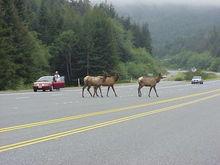 Elk Crossing, Hwy 101 North of Klamath, CA