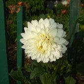 White Dahliah