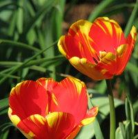 Tulip Division 4 - Darwin Hybrids Banja Luka