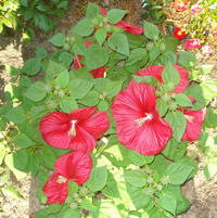 How many blooms on this Perennial Hibiscus?