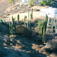 Columnar cactus garden in early fall... might look good in a few years... definitely a work in progress