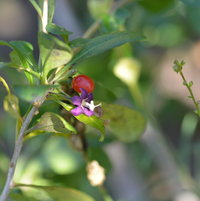 A close look at the flower and fruit of the Lycium barbarum or goji berry shrub.