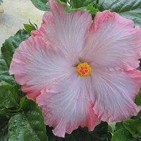 Cajun hibiscus, Swamp Cloud