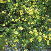 Canary Bird - May flowering - now 5 years old and beginning to look like a bush!