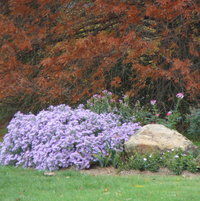 The asters were the last to bloom in mid late October.