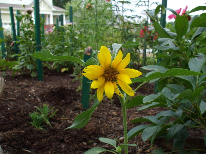 Volunteer sunflower holds its own among carefully chosen plants in the mixed vegetable/flower garden