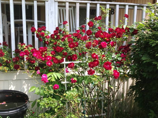 Minnie's red roses