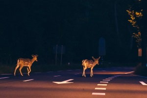 deer crossing the street