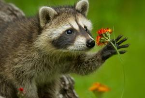 a raccoon holding a flower