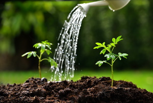 Water being poured onto soil with a couple young plants sprouting up.