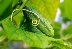 A ripe cucumber on the vine.