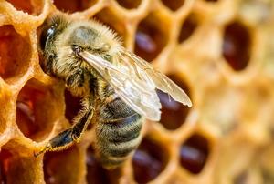 A honeybee crawls over wax comb with honey inside.