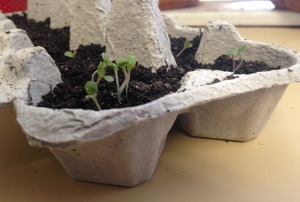 An egg carton with seedlings and soil in it.