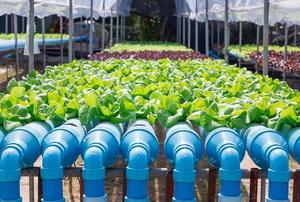 rows of aquaponics produce