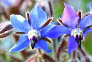 blue borage flowers