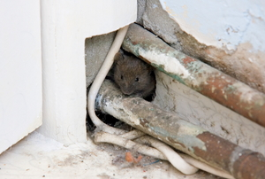 rodent hiding in hole in wall