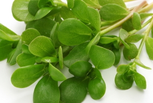 edible purslane herb weed