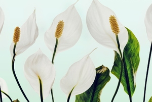 day lilies on a white background