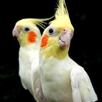 cockatiel.png