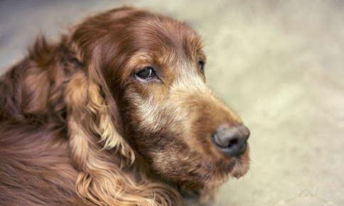 image of senior dog looking tired