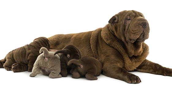 Image of a mom dog nursing her litter.