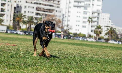 Dog running on grass.
