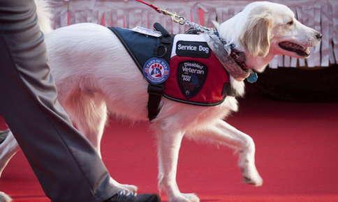 Golden retriever service dog.