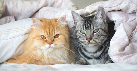 Image of orange and gray cats under a blanket.