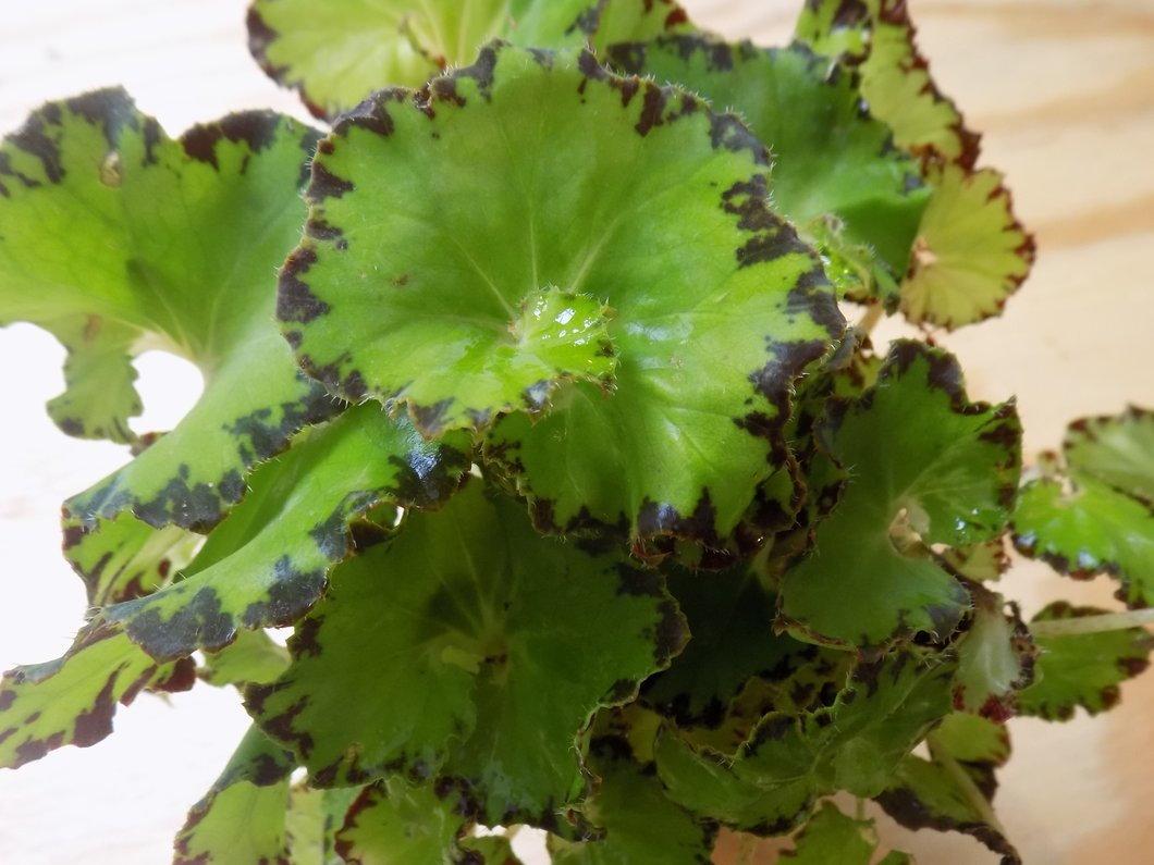 green and dark rex begonia