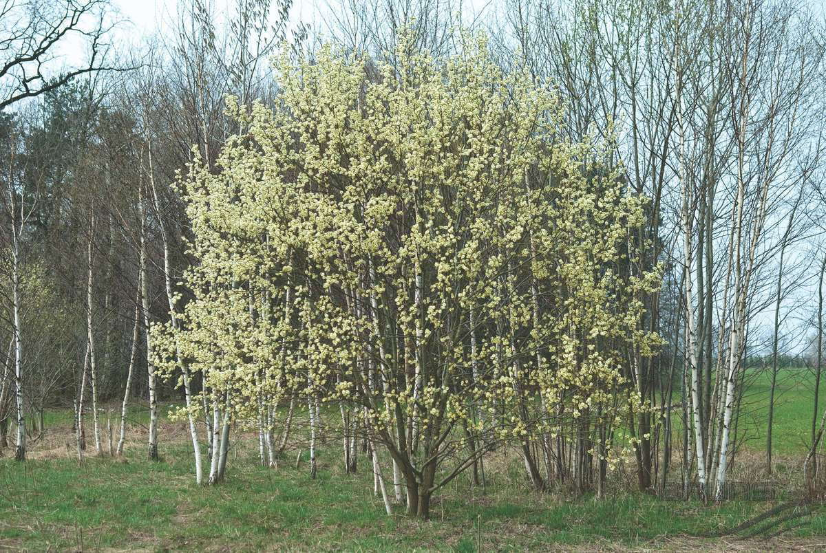 pussy willow tree