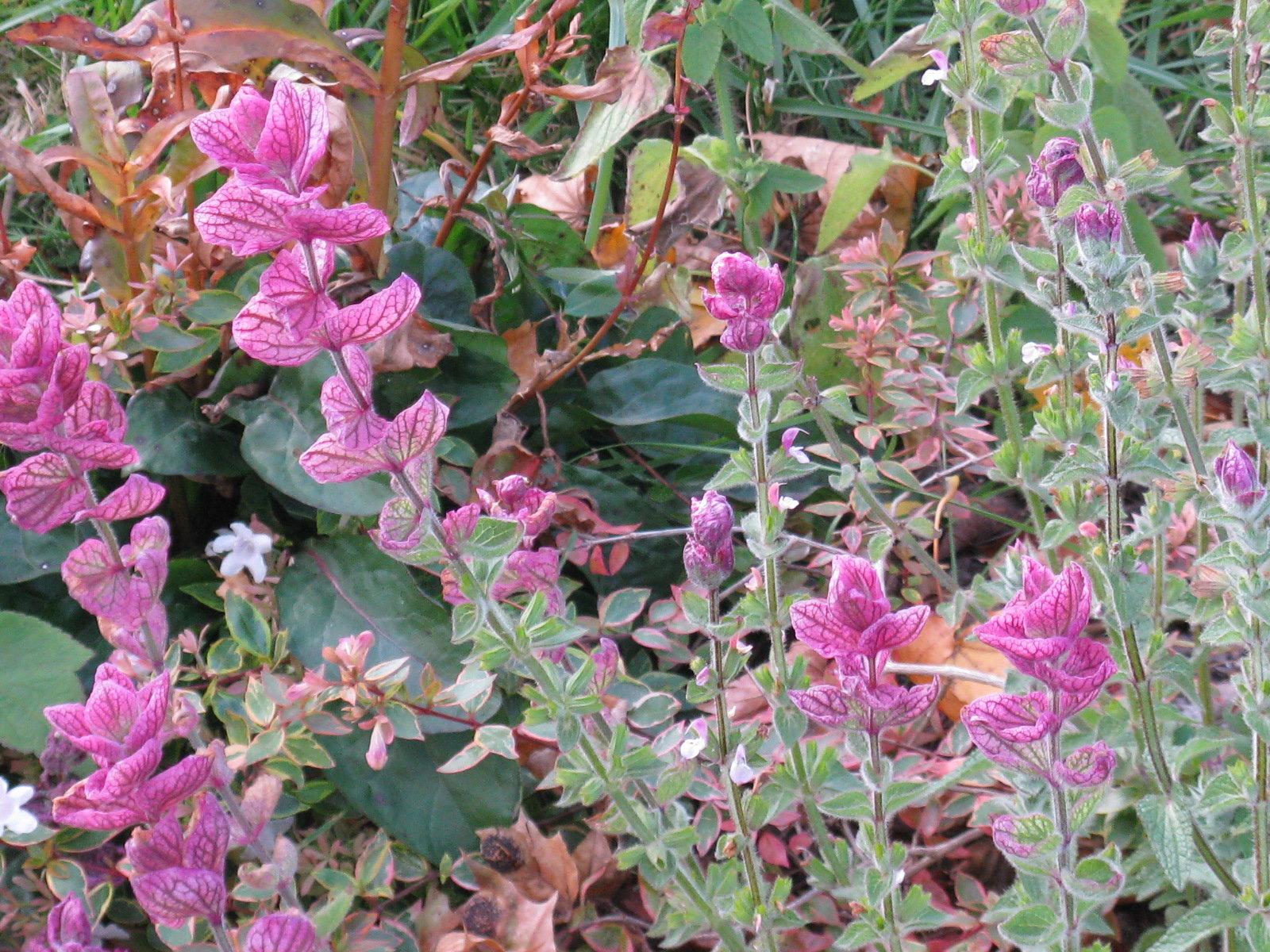 Salvia viridis in pink