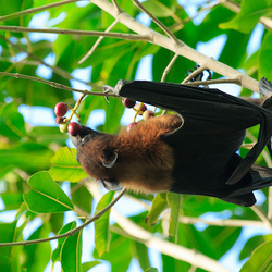 Bat eating fruit in a tree.
