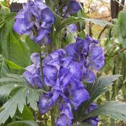 Monkshood A Deadly Beauty Daves Garden - Where does wolfsbane grow in the us map