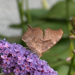 comma butterfly on purple butterfly bush
