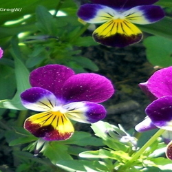 Purple and gold violas