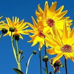 Jerusalem artichoke yellow sunflowers