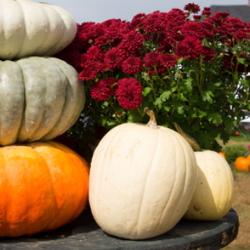 Red mums brighten up a fall pumpkin patch.