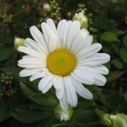 recommended for you - Montauk Daisy