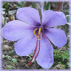 Saffron Crocus Dave S Garden