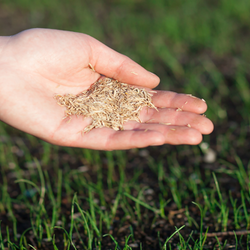 Palmful of grass seeds over a young lawn
