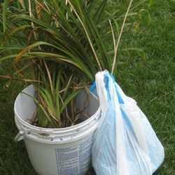 Dividing ornamental grasses Daves Garden